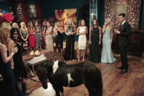 mini horse bachelor